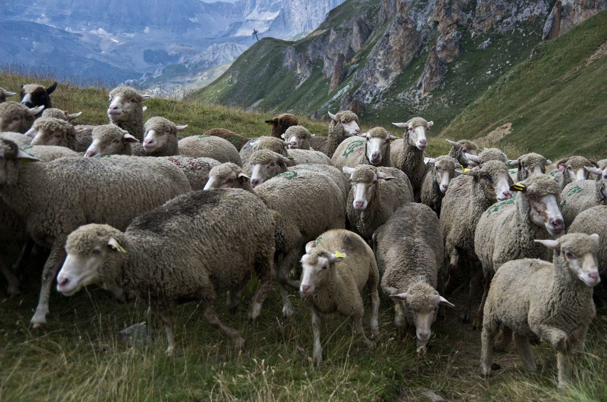 Un troupeau de moutons à Tignes (juillet 2017)